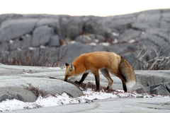 Fox on rock Stock Images