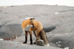 Fox on rock Stock Image