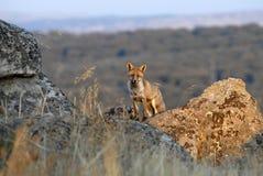 Fox rocks Royalty Free Stock Image