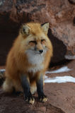 Fox on the Rocks. Fox sitting on the rocks in Arizona Royalty Free Stock Images