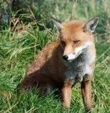 Fox rojo 0039 imagen de archivo libre de regalías