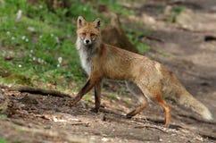 Fox rojo Fotos de archivo