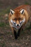 Fox rojo Fotografía de archivo libre de regalías