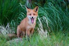 Fox rojo Foto de archivo libre de regalías