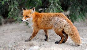 Fox rojo Fotos de archivo libres de regalías