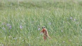 Fox rojo metrajes