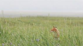 Fox rojo almacen de metraje de vídeo