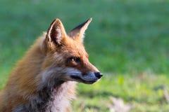 Fox rojo 5 Foto de archivo