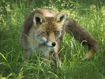 Fox rojo Fotografía de archivo