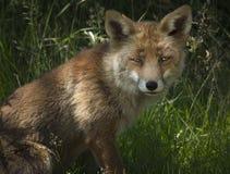 Fox rojo Foto de archivo