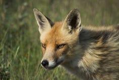 Fox rojo Imágenes de archivo libres de regalías