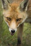 Fox rojo Imagen de archivo libre de regalías