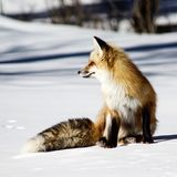 Fox rojo imagenes de archivo