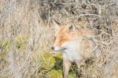 Fox rojo Imagen de archivo
