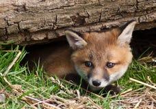 Fox rojo Cub imágenes de archivo libres de regalías