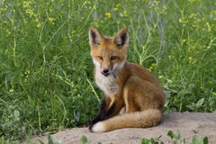 Fox rojo del equipo imagen de archivo