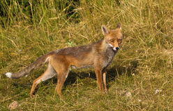 Fox rojo en alarma Imagen de archivo libre de regalías