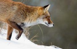 Fox rojo en la nieve Fotos de archivo