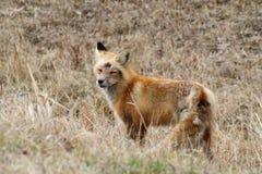 Fox rojo en resorte temprano Fotografía de archivo