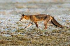 Fox rojo europeo - crucigera del vulpes del Vulpes Imágenes de archivo libres de regalías