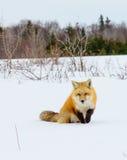 Fox rojo hacia fuera que caza Imágenes de archivo libres de regalías