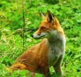 Fox rojo que se coloca en hierba Foto de archivo