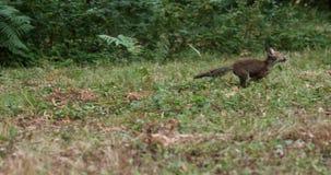 Fox rojo, vulpes del vulpes, adulto que corre en la hierba, Normandía en Francia, almacen de video