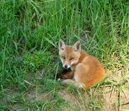 Fox rojo (vulpes del Vulpes) Fotos de archivo libres de regalías