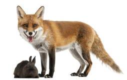 Fox rojo, vulpes del Vulpes, 4 años, jugando Fotografía de archivo