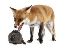 Fox rojo, vulpes del Vulpes, 4 años, jugando Fotografía de archivo libre de regalías