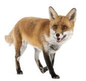 Fox rojo, vulpes del Vulpes, 4 años Fotografía de archivo