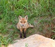 Fox rojo (vulpes del Vulpes) Imágenes de archivo libres de regalías