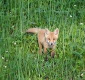 Fox rojo (vulpes del Vulpes) Imagen de archivo libre de regalías