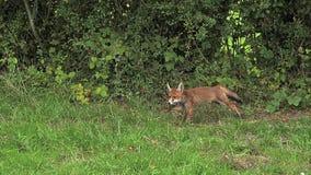 Fox rojo, vulpes del vulpes, adulto que corre en la hierba, Normandía en Francia