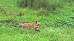 Fox rojo, vulpes del vulpes, adulto que corre en la hierba, Normandía en Francia, metrajes
