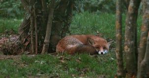 Fox rojo, vulpes del vulpes, adulto que se coloca en la hierba, Normandía, almacen de metraje de vídeo