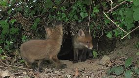 Fox rojo, vulpes del vulpes, Cubs que se coloca en Den Entrance, Normandía,