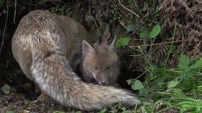 Fox rojo, vulpes del vulpes, madre y Cub colocándose en Den Entrance, Normandía, almacen de metraje de vídeo