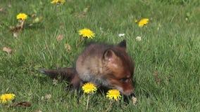 Fox rojo, vulpes del vulpes, perrito que se sienta en prado con las flores amarillas, mirando alrededor, Normandía en Francia,