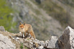 Fox. A fox in Romanian mountains Royalty Free Stock Photos