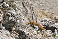 Fox. A fox in Romanian mountains Stock Photos