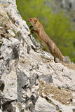 Fox. A fox in Romanian mountains Royalty Free Stock Image