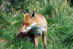 Fox rosso 0035 Fotografie Stock Libere da Diritti