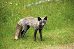 Fox rosso Immagini Stock