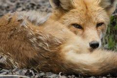 Fox rosso Immagini Stock Libere da Diritti