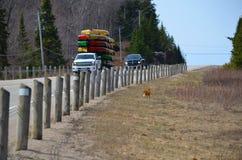 Fox rosso accanto alla strada principale Fotografie Stock