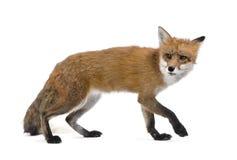 Fox rosso che cammina contro la priorità bassa bianca Immagini Stock Libere da Diritti