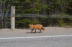 Fox rosso che cammina sul bordo della strada principale Immagine Stock Libera da Diritti