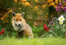 Fox rosso che si siede fra i fiori della molla fotografie stock