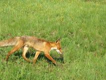 Fox rosso corrente in maggio in Russia centrale Fotografie Stock